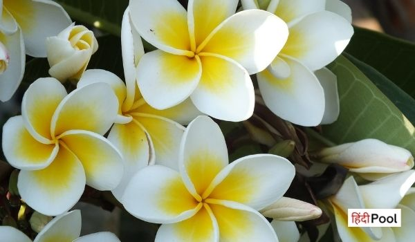 20+ Interesting Facts About Jasmine Flower in Hindi